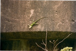 This lizard was an onset visitor, attached to the Burr's Ferry Bridge.